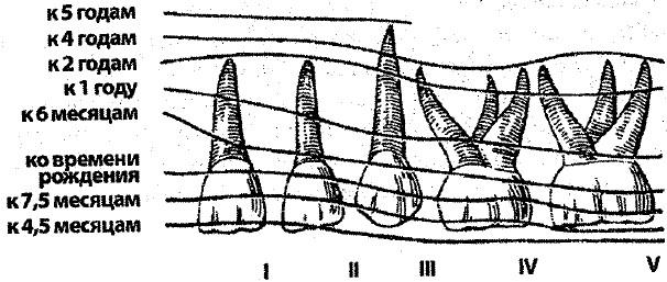Формирование корней зубов заканчивается 194