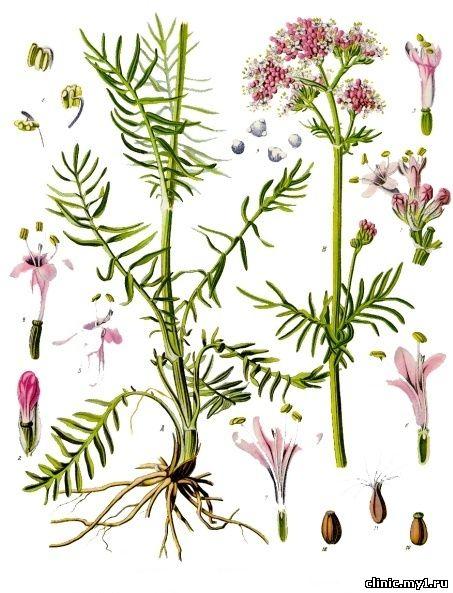 Валериана лекарственная valeriana officinalis l